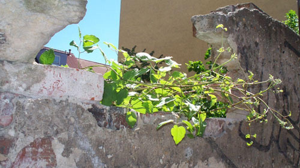 Baum bricht aus der Mauer vor der Blauen Fabrik