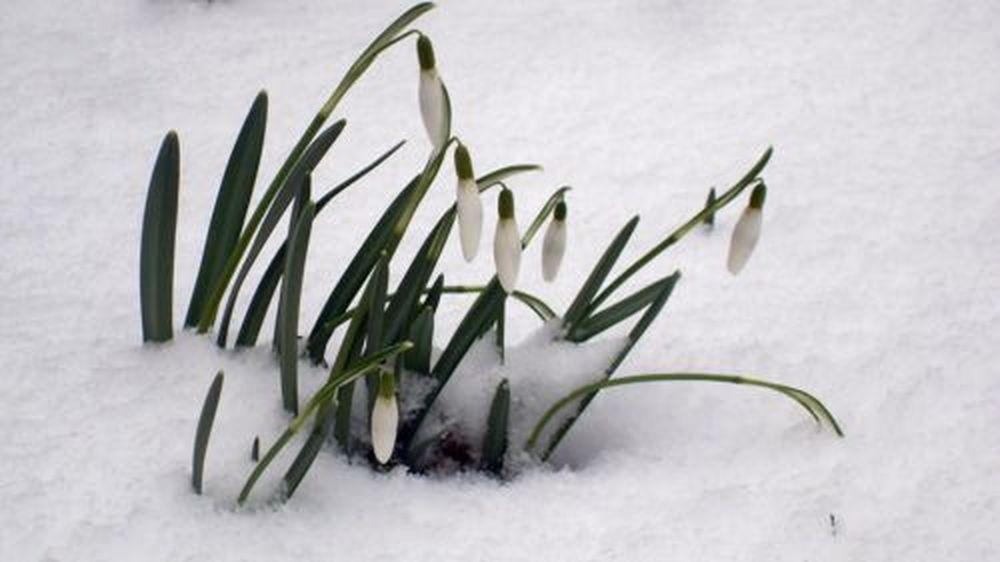Schneeglöckchen im Schnee, danke an S.Ebnitzer